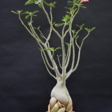 Адениум тучный (Adenium obesum)