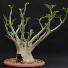 Адениум сокотранский (Adenium thai socotranum)