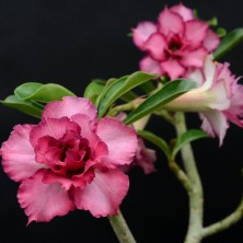 Адениум (Adenium Triple Purple)