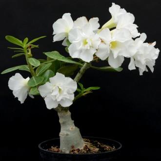 Белый адениум (Adenium White King)