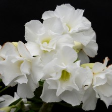 Адениум (Adenium White King)