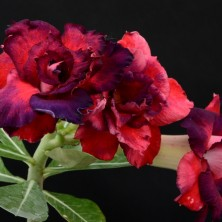 Адениум (Adenium Red-Blue Roses)