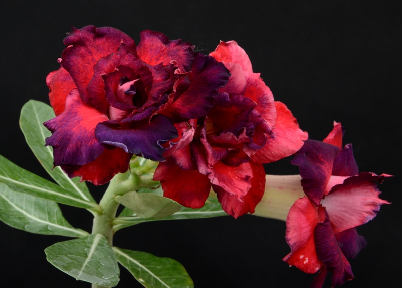 Адениум adenium red blue roses