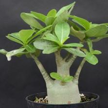 Карликовый Адениум арабский (Adenium arabicum Dwarf)
