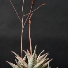Культивар алоэ (Aloe cv. 'Rocco')