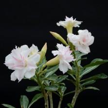 Адениум (Adenium Masai)
