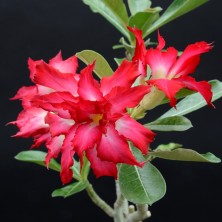 Адениум (Adenium Black Magic)