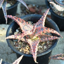 Aloe cultivar