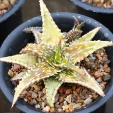 Aloe jucunda variegated