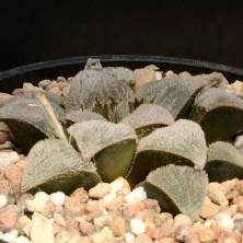 Хавортия (Haworthia pygmaea Super White)