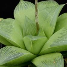 Хавортия (Haworthia retusa var Geraldi)