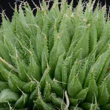 Хавортия (Haworthia isabellae)