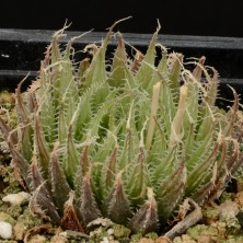 Хавортия (Haworthia aristata)