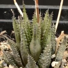 Хавортия фото (Haworthia chloracantha var. subglauca)