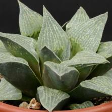 Хавортия фото (Haworthia pygmaea var. argento-maculata)