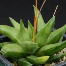 Хавортия (Haworthia scabra var. starkiana)