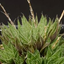 Хавортия (Haworthia marumiana)