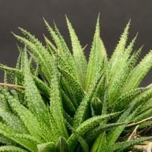 Хавортия (Haworthia variegata)