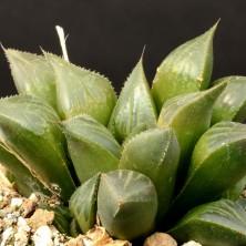 Хавортия (Haworthia mundula)