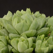 Хавортия (Haworthia cymbiformis 'brevifolia')