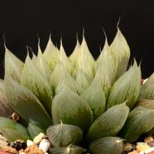 Хавортия (Haworthia cooperi var. pilifera RIB 0139)