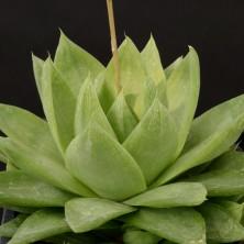 Хавортия фото (Haworthia cymbiformis 'agavoides')
