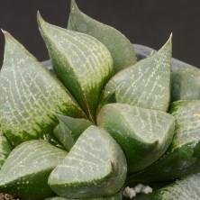 Хавортия (Haworthia comptoniana)
