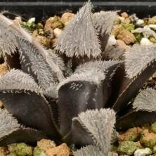 Хавортия (Haworthia mirabilis var. pilosa)