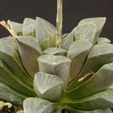 Хавортия (Haworthia pygmaea var. dekenahii)