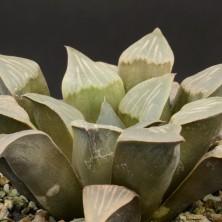 Хавортия (Haworthia mutica)