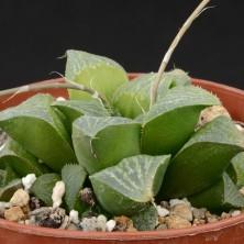 Хавортия (Haworthia magnifica Riverdale)