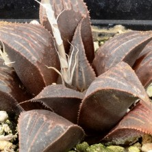 Хавортия (Haworthia mirabilis var. badia)