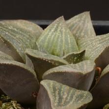 Хавортия (Haworthia pygmaea var. argento-maculata)