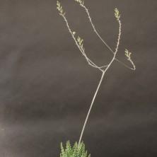 Хавортия (Haworthia margaritifera)