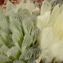 Хавортия (Haworthia cooperi var. pilifera variegata)