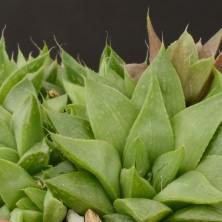 Хавортия (Haworthia reddii)