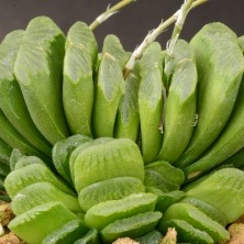 Хавортия (Haworthia truncata cv 'Lime Green')