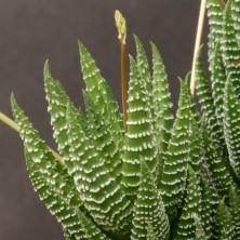 Хавортия (Haworthia coarctata)