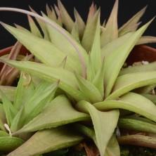 Хавортия (Haworthia limifolia ubomboensis)