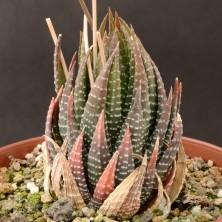 Хавортия (Haworthia fasciata la farge)