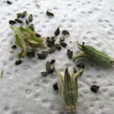 Коробочки и семена Хавортии (Haworthia)