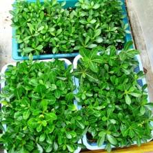 Сеянцы Адениума (Adenium)