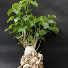 Ипомея альбивения (Ipomoea albivenia)
