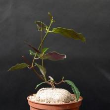 Петопентия (Petopentia natalensis)