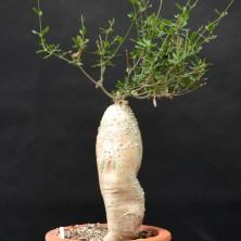 Африканское растение привезено из