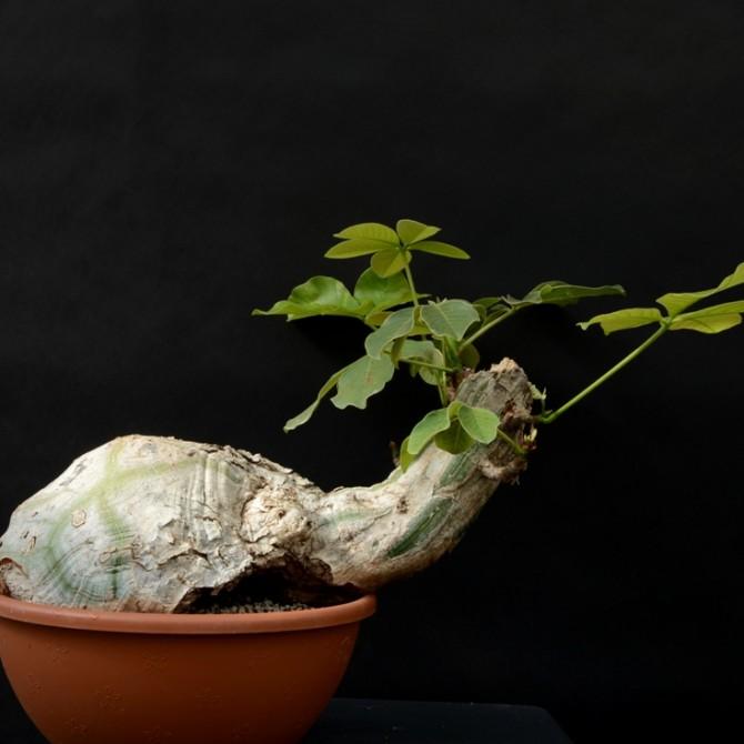 Bombax ellipticum