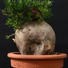 Редкие растения фото - фото (Pachypodium bispinosum)