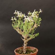 Пеларгония альтернанс (Pelargonium alternans)