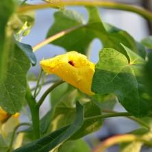 Цветок Ункарины