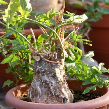 Цефалопентандра (Cephalopentandra ecirrhosa)